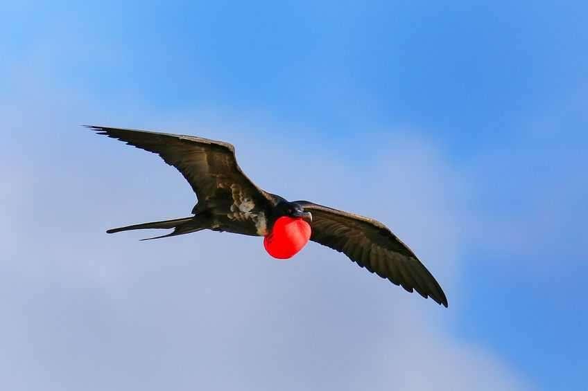 galapagos-frigatebird