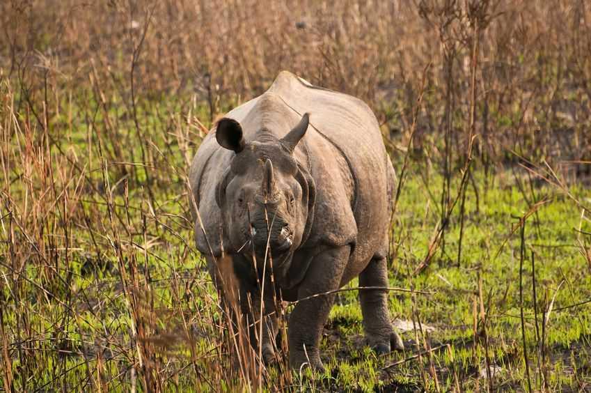 rhino-in-kaziranga
