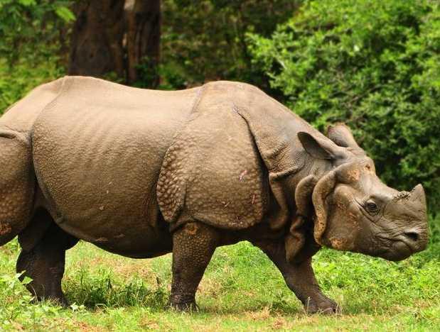 Rhino Duars