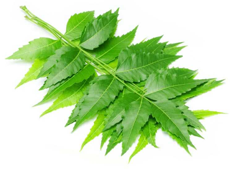 Home Remedies for Dandruff - Neem Leaves