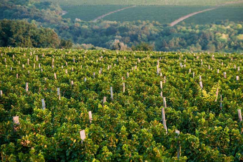 vineyards, nashik