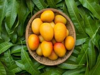 A mango leaves concoction can cure diabetes!