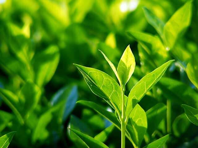 Benefits of Green Tea Plant