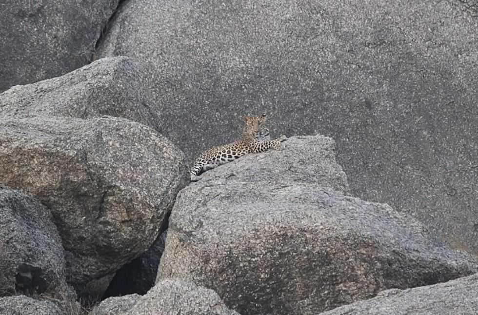 Bera-Rajasthan-Leopard