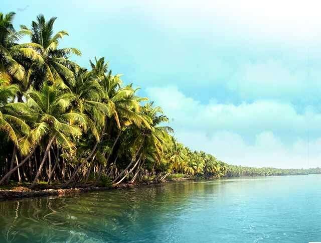 coconut tress