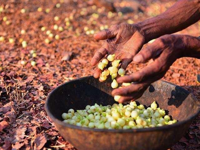 Tribal Women Are Using Mahua Flowers To Make Hand Sanitiser