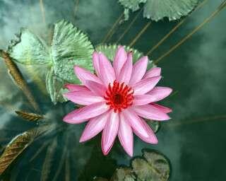 तनाव में राहत पहुंचाता है कमल कर फूल