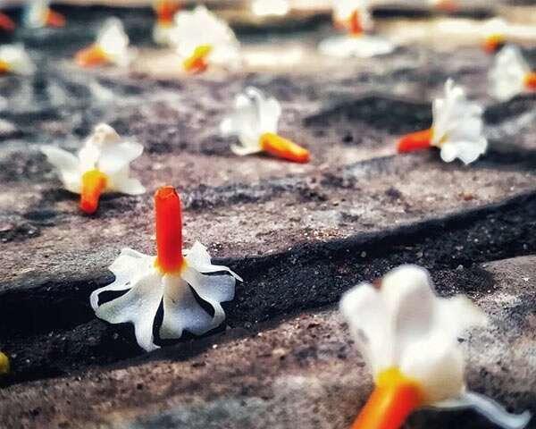 पारिजात फूल के सेहत से जुड़े कई फ़ायदे हैं
