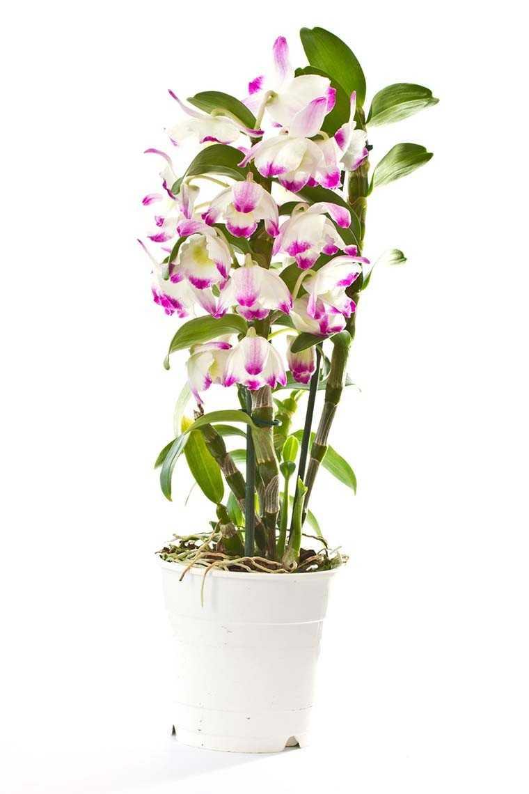 Dendrobium and Phaeleonopsis orchids