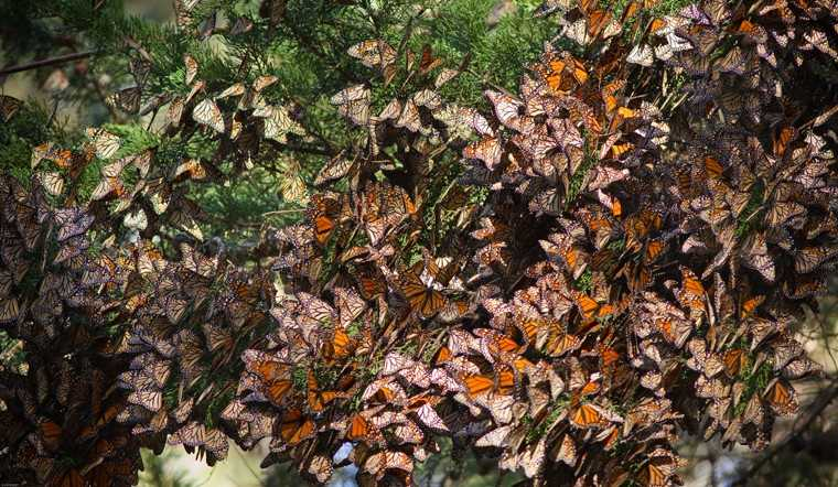 Mexico's migrating monarch butterflies