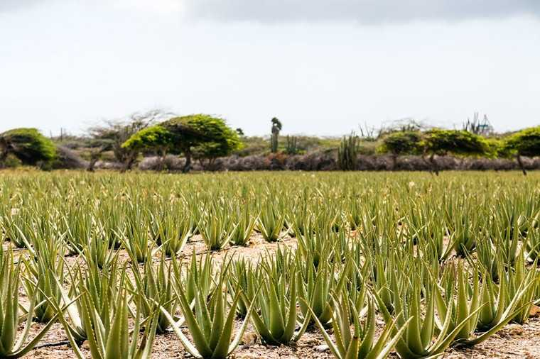 Get your dose of Aloe